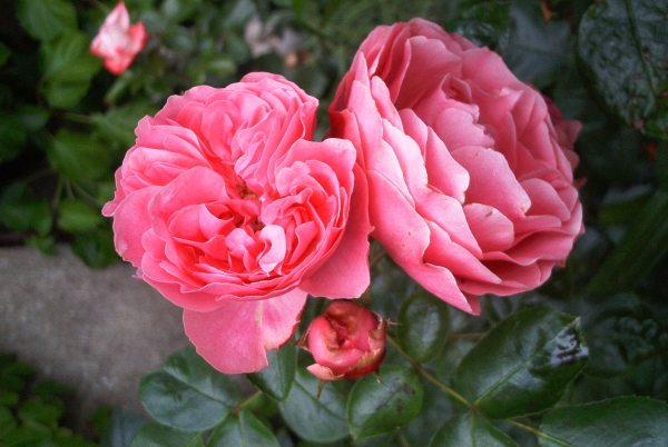 .. und die Rosen blühen auch schon.